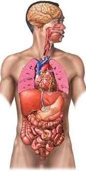 Resultado de imagen para el cuerpo humano
